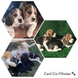 Beagle 13 polegadas com pedigree e microchip