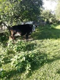 Vacas olandesas