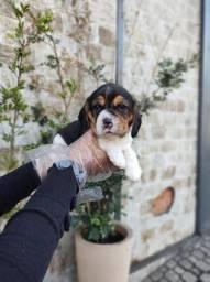 Beagle 13 polegadas, tricolor, condições especiais suporte veterinário gratuito!