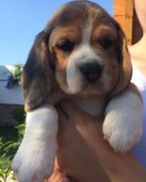 £<>< Beagle<>< 13 Polegadas! Filhote com Pedigree e Garantia de Saúde