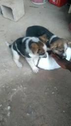 Cachorros pastor alemão