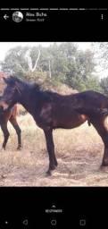 Portro filho de egua marchadeira