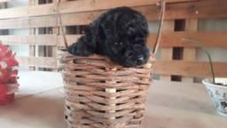 Filhote de poodle macho preto.