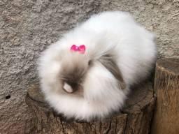 Casal de coelhos raça fuzzy lop