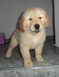 Inteligente e Fiel!! Golden Retriever com Pedigree