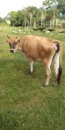 Vendo vaca jérsei