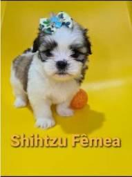 Shihtzu Fêmea ha pronta entrega ja vacinada