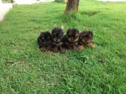 Yorkshire filhotes