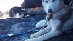 Husky Siberiano com pedigree.