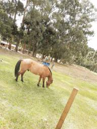 Cavalo Crioulo Rosilho