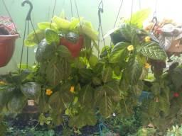 Plantas ornamentais e pimenteiras