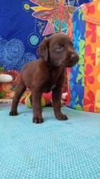 Lindo labrador filhotinho com pedigree chocolate