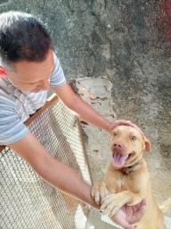 Doa-se Cão de Guarda Pitbull Red Nose
