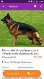 Canil casa carioca vende pastor alemão pedigree rosa entregamos no rio de janeiro