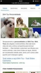 Cachorro da raça shih-tzu