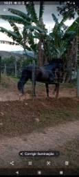 Cavalo garanhão registrado mm