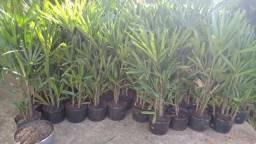Palmeira Ráfis - Rhapis excelsa
