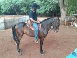 Cavalo mestiço American trotter