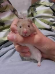 Hamster Sírio Filhote/ Reserva