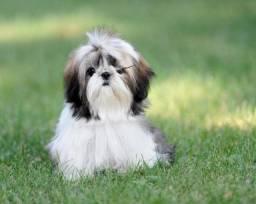; Shih Tzu padrão, com garantia, pedigree e recibo. ;