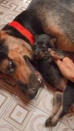 Vende-se filhotes de mistura de rottweiler pastor alemão