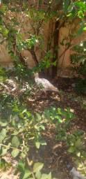 Pato Egito