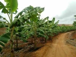 Mudas de banana da Terra ( terrinha e Maranhão)