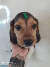 filhote de beagle com seguro de vida