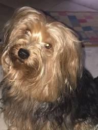 Yorkshire Terrier macho para cruzar