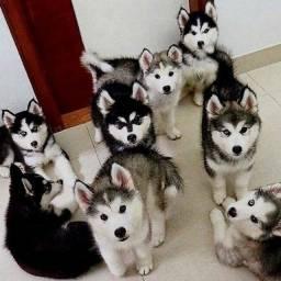 Husky Siberiano filhotinhos entregamos na sua casa!