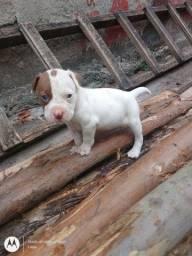 Vendo filhote de Pitbull red nouse puro!!!