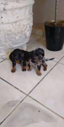Filhotes de dachshund( Alerquim)