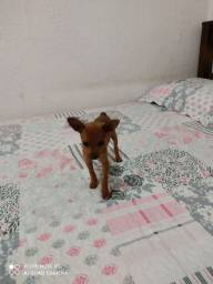 Cachorro Pincher macho