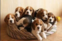 Beagle tricolor raça pura com pedigree