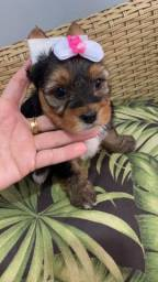 Yorkshire Terrier disponivel. Bela mocinha!!!
