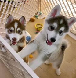 Filhotes Perfeitos de Husky Siberianos