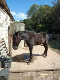 Cavalo Preto - Potro na última muda ainda.