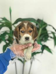 Beagle 13 polegadas, bicolor e tricolor