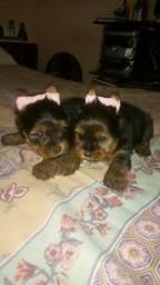 yorkshire   terrier  filhote  porte   pequeno