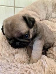 Título do anúncio: Pug Abricot Miniatura Fêmea