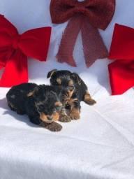 Babys de yorkshire terrier