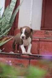 Filhotes machos de American Pitbull Terrier Red e black nose