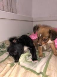 Doação de filhotes de cachorro