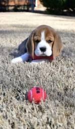 Beagle fêmea lindinhas disponiveis