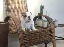 Filhote macho de bulldog inglês,  pedigree Cbkc, genética de campeões, Petrópolis