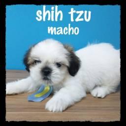 Shih tzu a pronta entrega ou retirada na loja