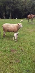 Vendo três carneiros
