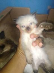 Gato de raça peludos