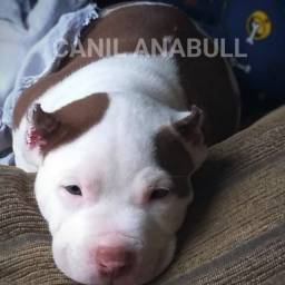 Canil AnaBull Recebe VC de P.A.T.A.S Abertas Filhotes Disponíveis