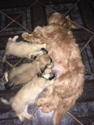 Tenho 2 filhotes Lhasa Apso para vender